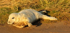 Impatient Pup (Derbyshire Harrier) Tags: autumn dunes reserve lincolnshire pup raf greyseals donnanook 2013 lincolnshirewildlifetrust