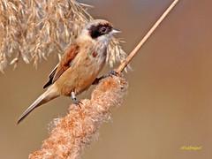 Cariñoso y Amigo . Pájaro Moscón  (Remiz pendulinus) (eb3alfmiguel) Tags: aves moscón insectívoros pájaros