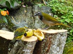 Thanksgiving Feast: Buff-Throated Saltator and Silver Throated Tanager (JApplequist) Tags: bird costarica pájaro silverthroatedtanager buffthroatedsaltator birdsofcostarica
