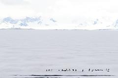Antarctica - Day Three0461 (GLRPhotography) Tags: ice penguin antarctica adelie 100400 weddellsea princegustavchannel erebusandterrorgulf