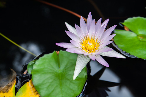 Pink lotus flower or water lily flowers blooming on pond