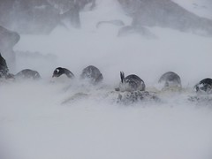 Who would be a penguin (ericy202) Tags: brown penguins gentoo december 2006 blizzard bluff conditions wildpenguin