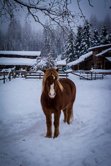Roskur (Amy.Equine) Tags: winter horses snow icelandic
