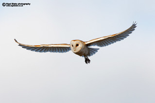 Barn Owl, Tyto alba. in flight