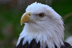 newmexico bird eagle baldeagle aviary nm carlsbad lamsa livingdesertzoogardens livingdesertzooandgardens