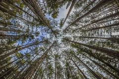 Alberi (antonio2047) Tags: verde foglie alberi fisheye cielo sole tronco luce rami vegetazione flickraward canoniani flickrunitedaward