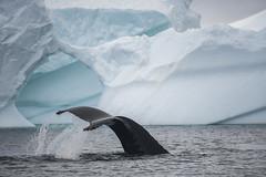 Antarctica 255 (Morten Skovgaard) Tags: travel snow cold ice expedition nature animals penguin penguins wildlife antarctica adventure seal seals iceberg zodiac polar rare plancius southpole antarktis sydpolen mortenskovgaard oceanwideexpeditions godknd