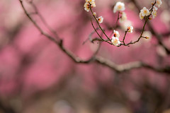 DSC_7252.jpg  (m3411) Tags: flowers  70200mm   japaneseapricot d600 umeblossoms umetree originalphotography