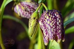Schachbrettblumen - Fritillaria meleagris (MaiGoede) Tags: flowers macro nature flora fritillariameleagris schachbrettblume flowerthequietbeauty infinitexposure