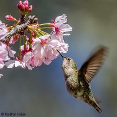 Hummingbird - 6981 (Karlton Huber) Tags: wild flower bird nature closeup inflight hummingbird details blossoms nectar cherryblossoms southerncalifornia shallowdepthoffield 2014 fastshutter sigma150500mmos nikond7000 karltonhuber