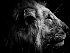 Lion (-kated-) Tags: africa blackandwhite nature beautiful animals southafrica dangerous wildlife mammals krugernationalpark kruger predators wildanimals southernafrica gapyear