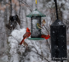 _XT18402-Edit.jpg (neech_2000) Tags: winter food snow bird birds animal cardinal goldfinch flight birdfeeder finch hunger strength hungry survival tenacity cardinals determination loudoun songbirds loudouncounty otherbirds