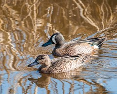Teal Pair (Jim McConnell) Tags: nature duck nikon nebraska teal bluewinged d300s