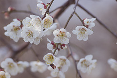 Plum Blossom (Johnnie Shene Photography(Thanks, 1Million+ Views)) Tags: flowers plants plant flower macro nature canon lens eos rebel living kiss blossom wildlife blossoms plum 11 28 tamron 90mm 90 plums f28 t3i organisation x5 600d