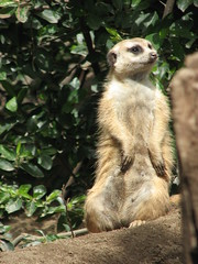 MEERKAT 180_221 (Dancing with Ghosts Graphics) Tags: ca copyright usa cute animal mammal meerkat pups small gang mob 180 clan mongoose angola sentry suricate burrows suricatta desert diurnal 2013 sansiego fawncolored herpestid iteroparous kalahari dwgg namib debbrawalker feliform dancingwghosts suricata suricatta botswana oraging siricata majoriae iona