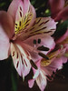 Pink . (annatole) Tags: pink flower astromelia