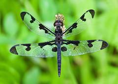 Banded Pennant (Celithemis fasciata) (monon738) Tags: macro nature closeup bug insect wings pentax dragonfly wildlife indiana skimmer odonata libellulidae 100mmmacro celithemis whitleycounty bandedpennant celithemisfasciata smcpdfa100mmf28 bandedpennantdragonfly pisgahmarsharea k5iis
