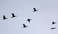 Cormorants (iansand) Tags: cormorant darlingriver menindee kinchega