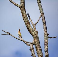 what kind of bird (oakiedoakie) Tags: birds wing wax ceder wildbirds
