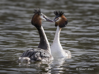 Great Crested Grebe_MG_2719