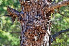Aggressive Negotiations II (Trippin' all over the place) Tags: landsape nature tree bark texture layers cut decay panasonic lumix gx7 m43 mirrorless manuallens missoiuri stcharles pse12 topazlabs nik