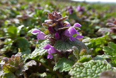Taubnessel (A.Dragonheart) Tags: pflanze plant blume flower blossom bloom outdoor natur nature grün green taubnessel lamium deadnettles lila purple blatt leaf