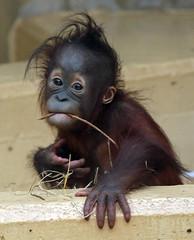 orangutan Sabbar Ouwehands BB2A2902 (j.a.kok) Tags: orangutan orangoetan orang mammal zoogdier ape aap monkey mensaap primaat primate borneo sumatra asia azie ouwehands ouwehandsdierenpark sabbar