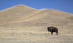 once was king (eDDie_TK) Tags: colorado co weldcountyco weldcounty weld terrybisonranch americanbison bison buffalo highplains prairie