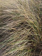 Oyats - Dunes (Dunkerque) (benoit_d) Tags: oyat dune dunkerque malo