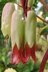 Bryophyllum pinnatum, Oken 1841 (Saxifragales Crassulaceæ Sempervivoideæ Kalanchoeæ)
