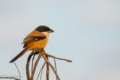 Alcaudón Schach Long-tailed Shrike (Lanius schach) (Corriplaya) Tags: corriplaya aves birds tailandia alcaudónschach longtailedshrike laniusschach