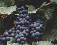 ...Napa grapes (allyndon) Tags: napa grapes purple california fruit wine