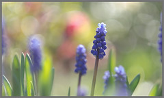 Blauw druifje (Muscari botryoides) (Erik v Hassel) Tags: muscari blue blauw druifje bulb closeup haps erikhaps nikon d5100 nederland holland dutch beautiful fraai excellent flickr view splendid beauty best wonderful fantastic awesome stunning incredible magic nice perfect photo image shot foto lovely ngc macro flower close up