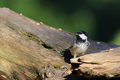 Willow tit (Jo Rawson!) Tags: wildlife clumber clumberpark nottinghamshire nationaltrust nature birds