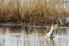 DSC_1928 garganey (Anas querquedula) (rabbiv) Tags: nature duck garganey anasquerquedula wildlife water ripples flapping wings reeds white d7100 nikon
