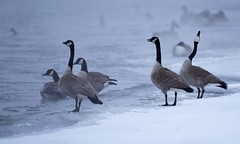 Really cool geese. (GWP_Photo) Tags: canada geese calgary alberta bow river winter nikon 200500 nikkor