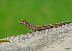 Lucertola (ape maya77) Tags: macro lucertola lizard verde rettile reptile fz18