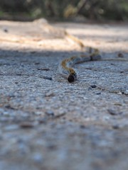 Pine processionary larvae marching (Nikos Karatolos) Tags: thessaloniki greece pine processionary larvae insect moth crawler crawling link thermi dam samyang 50mm f12