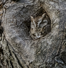 Eastern Screech Owl (AnthonyVanSchoor) Tags: megascops asio eastern screech owl nikond7100 tamron150600mmtelephotolens