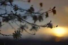 enjoying the sunset (gwuphd) Tags: wollensak 75mm f19 sunset bokeh dusk light nature