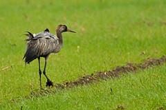 Grue cendrée (Yves.Henchoz) Tags: nikond4 tamron150600 nature sauvage faune animal liberté