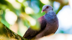 Nilgiri wood pigeon (raveclix) Tags: raveclix india canon sigma canon5dmarkiii sigma150500mmf563apodgoshsm nandihills nandi bangalore bengaluru karnataka bird birds nilgiriwoodpigeon columbaelphinstonii