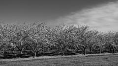 Black and White Blossoms (lennycarl08) Tags: fuji orchard sacramentonwr sacramentovalley glenncounty northerncalifornia blackandwhite