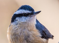 Red-breasted Nuthatch (Ron Hodgson Wildlife Photography) Tags: nuthatch redbreasted weaslehead