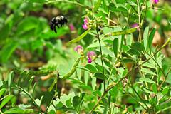(biologocelio) Tags: biologocelio fotobaturalismo canon sx60 inseto insect arthropoda insecta hymenoptera apidae xylocopinae xylocopini xylocopa abelha mamangava bee bumblebee