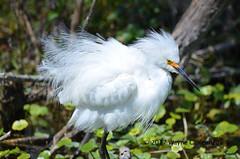 Ruffled Snowy Egret at North Lake Apopka Wildlife Drive (wayne kennedy EDD) Tags: snowy