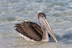 Immature Brown Pelican at Chinese Hat S24A5764 (grebberg) Tags: bird chinesehat galapagos ecuador january 2017 brownpelican pelecanusoccidentalis pelican pelecanus immature pelecanusoccidentalisurinator
