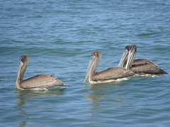 Four Pelicans (knightbefore_99) Tags: cool ocean sea pacific four pelican bird rincon guayabitos mexico mexican nayarit awesome water azul blue