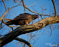Turkey Vulture, Perched (Mark Bernas) Tags: bird niagara perch vulture turkeyvulture oldfortniagara carrionbird