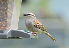 Small chipping sparrow (Katie Zudjelovic) Tags: bird outdoors birding sparrow chipping